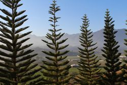 pine trees in the DR